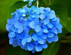 blue-hydrangea-58432__180